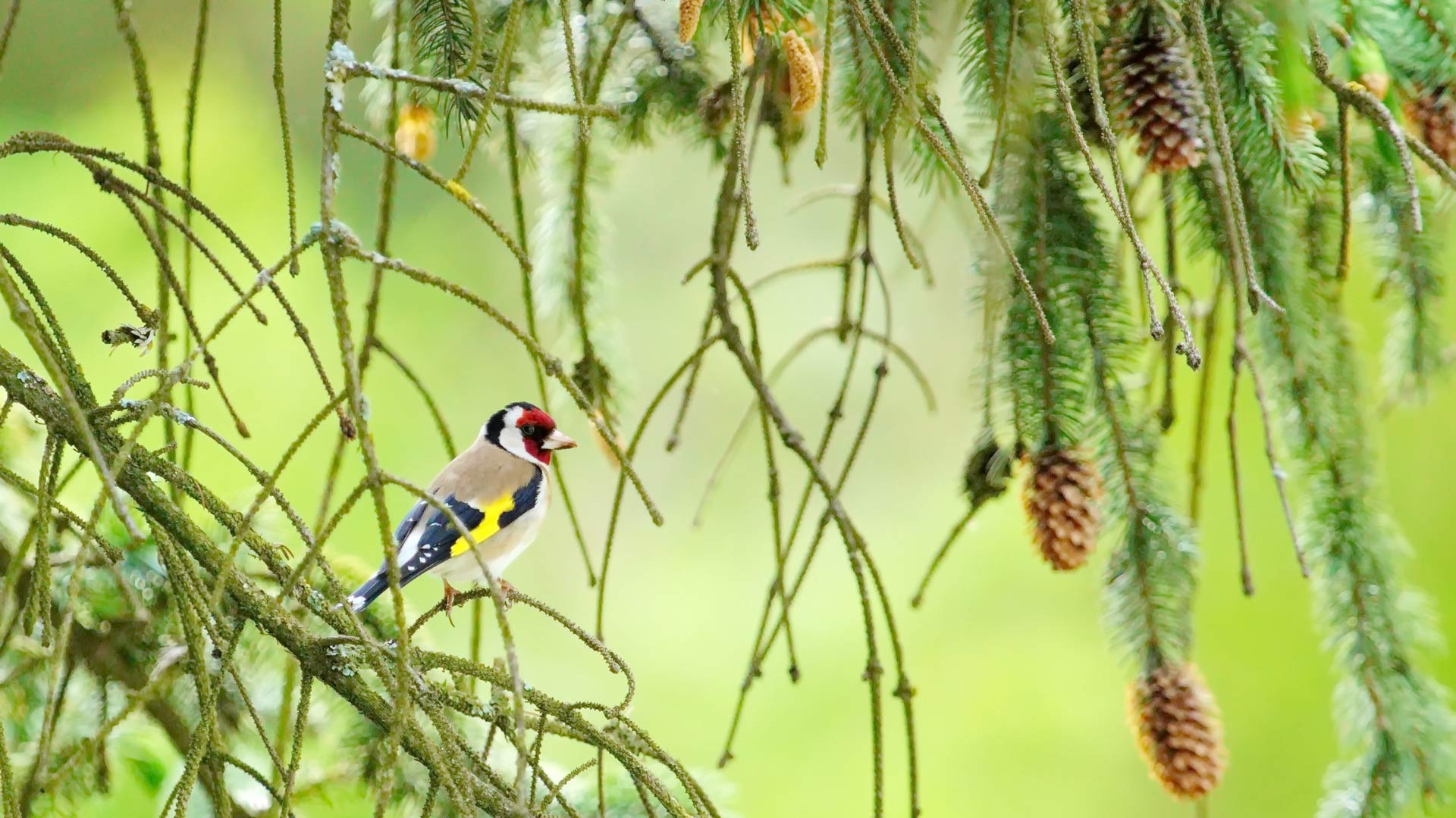 European goldfinch (carduelis carduelis) among branches in green background