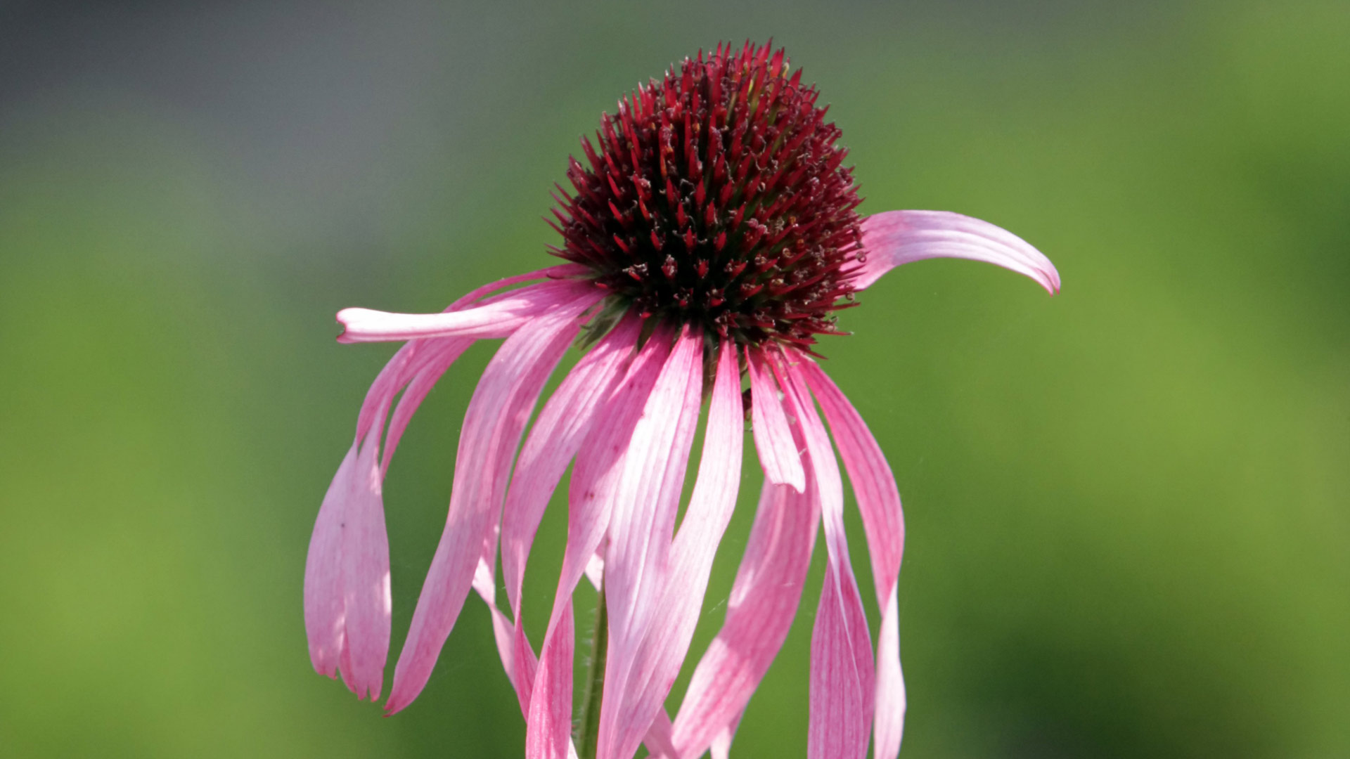 Several echinacea purpurea flowers, also known as sundown or coneflowers