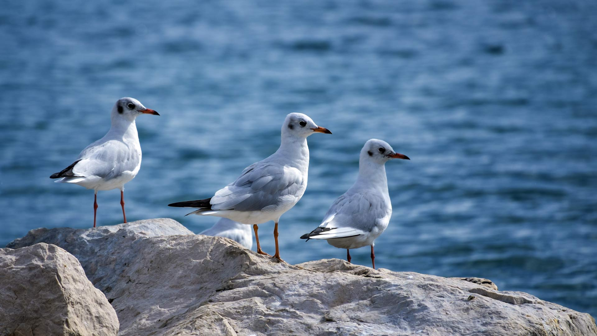 Three black-headed gulls, chroicocephalus ridibundus, standing on a rock near the sea