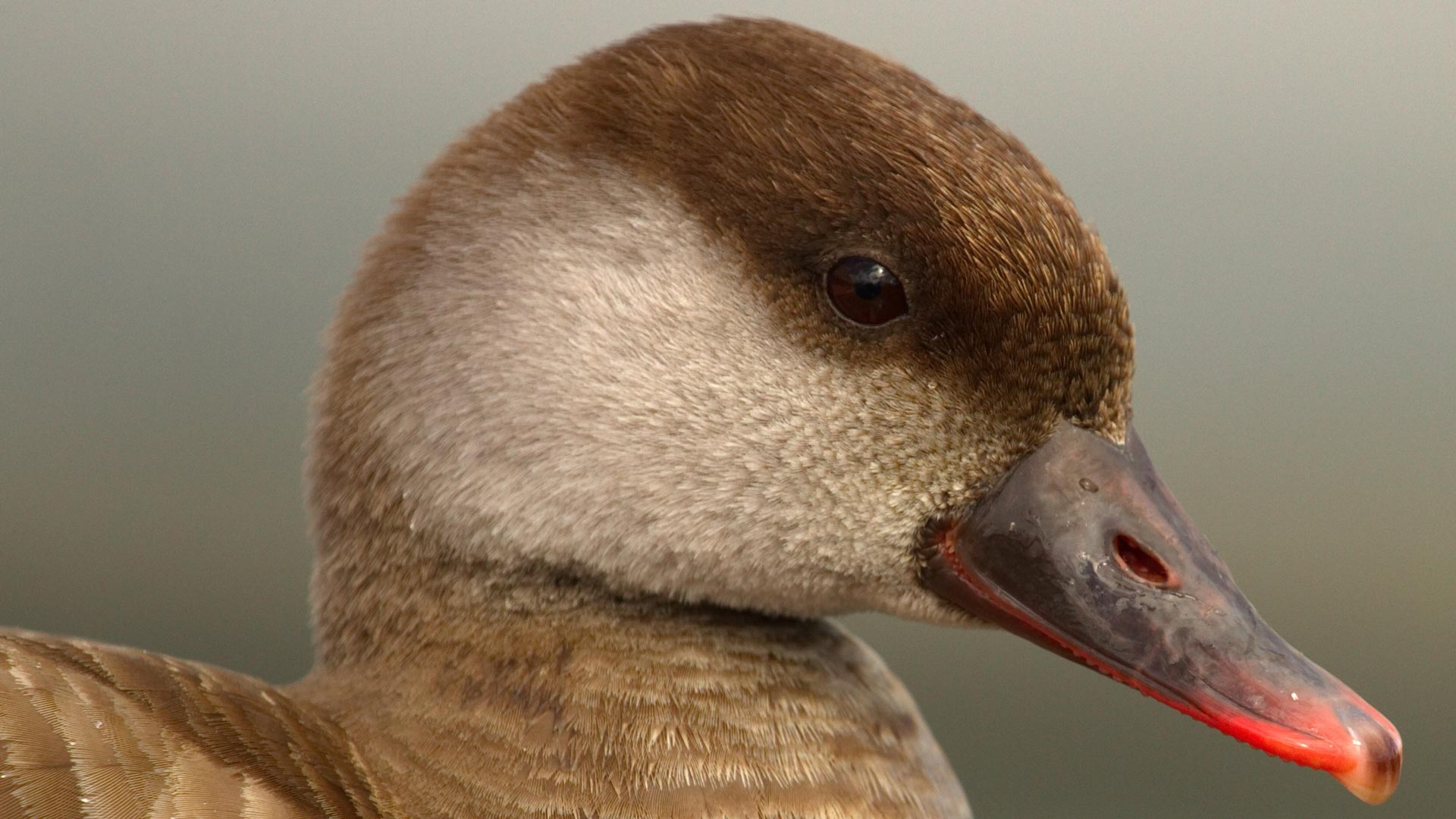 Red-crested female pochard duck, netta rufina, portrait