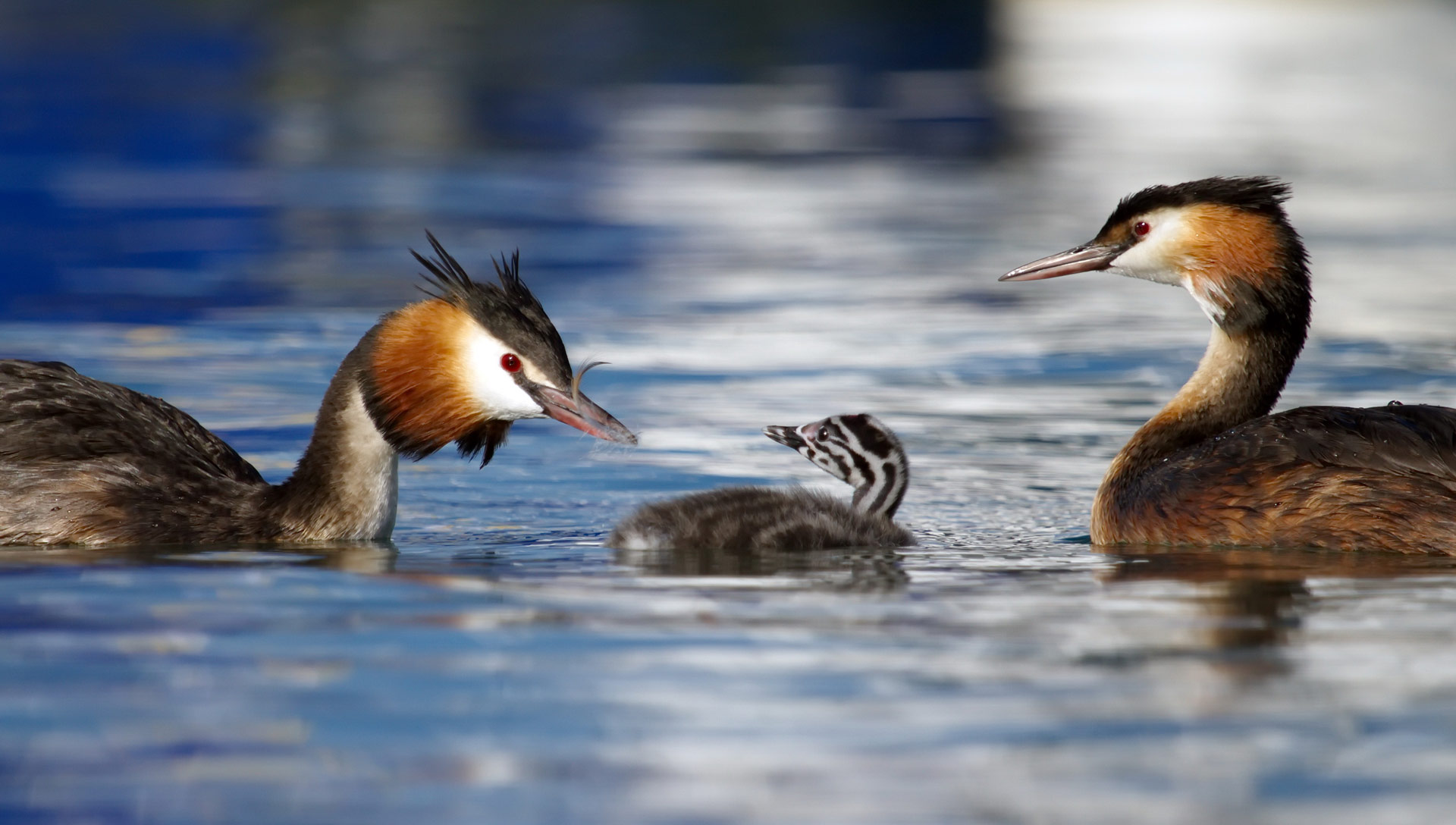 Crested grebe ducks, podiceps cristatus, parents and baby floating on water lake