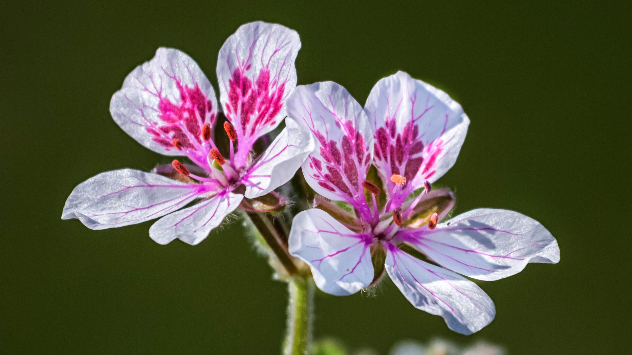 Close up on erodium pelargoniiflorum 'Sweetheart' flowers, heron's bill