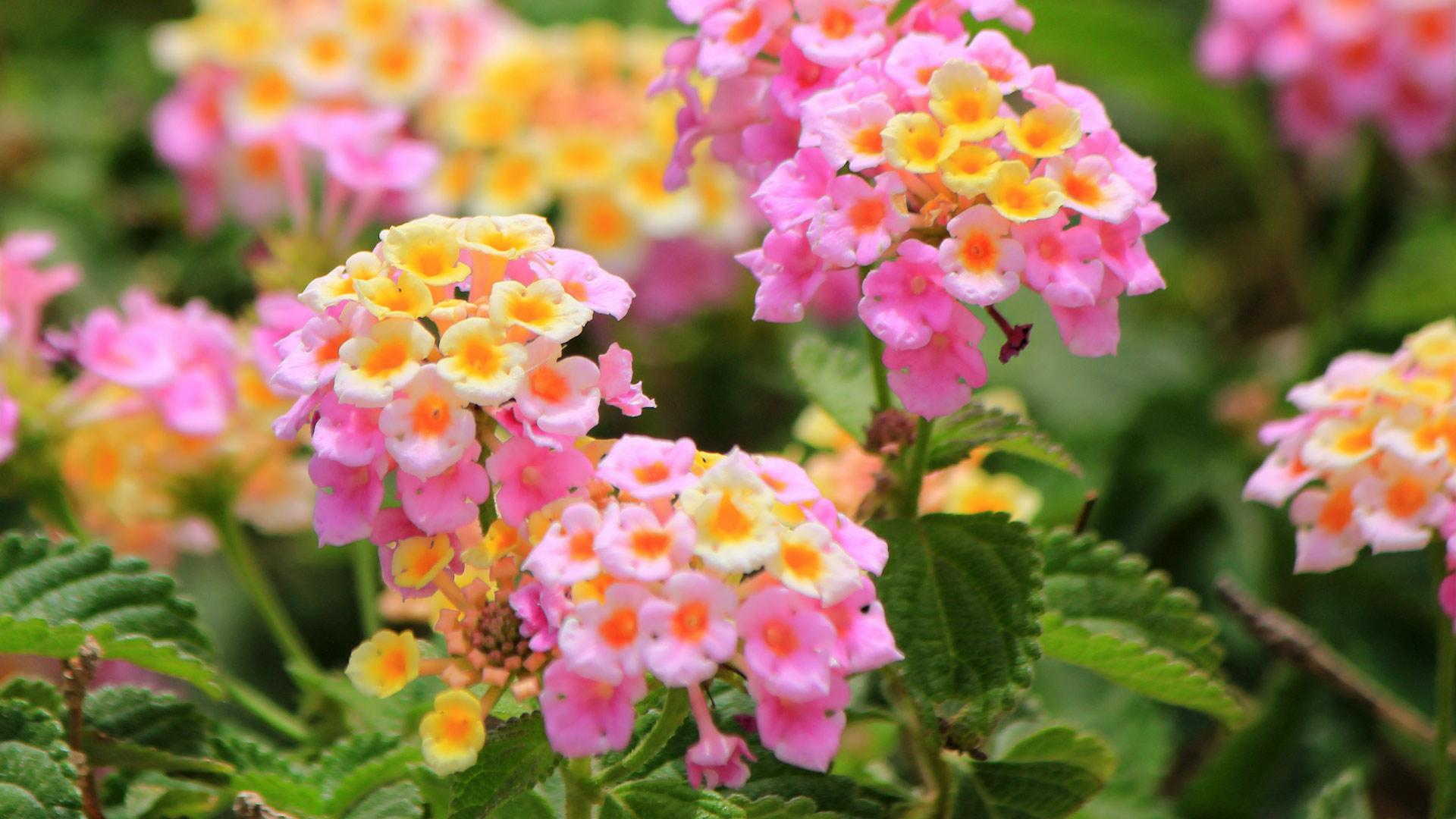 Beautiful pink lantana camara flowers