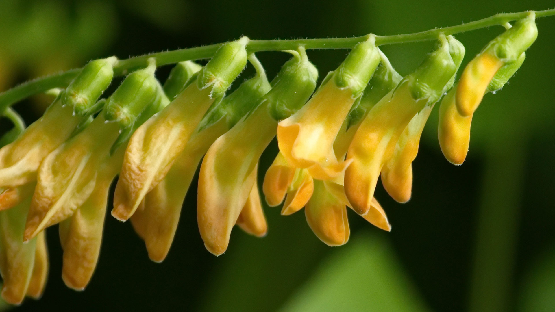 Close up on yellow pea, lathyrus laevigatus
