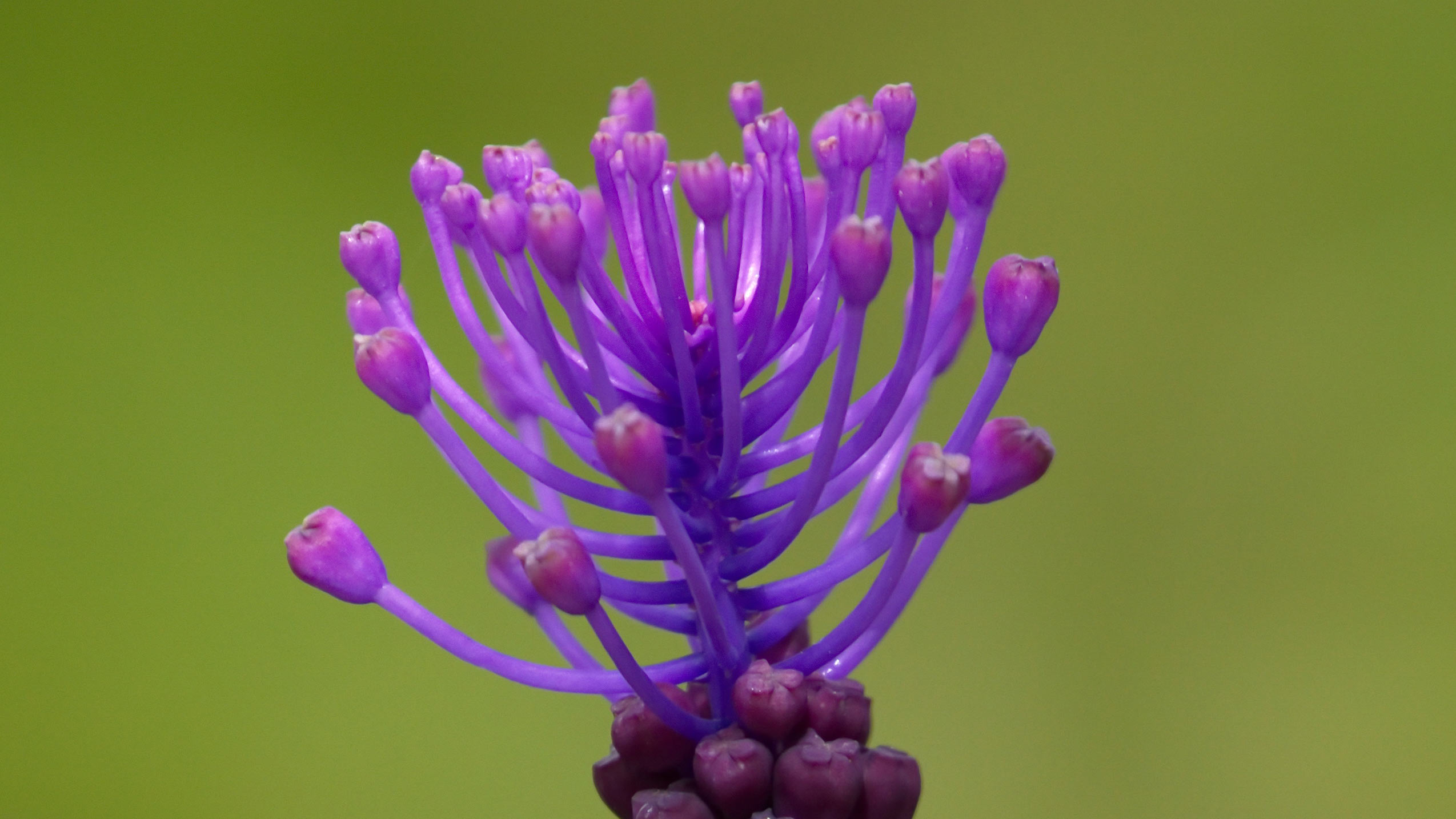 Close up on tassel hyacinth, leopoldia comosa, muscari comosum