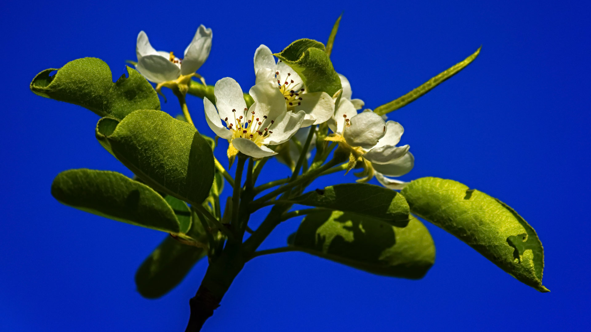 European or common pear, pyrus communis, flowers by beautiful day