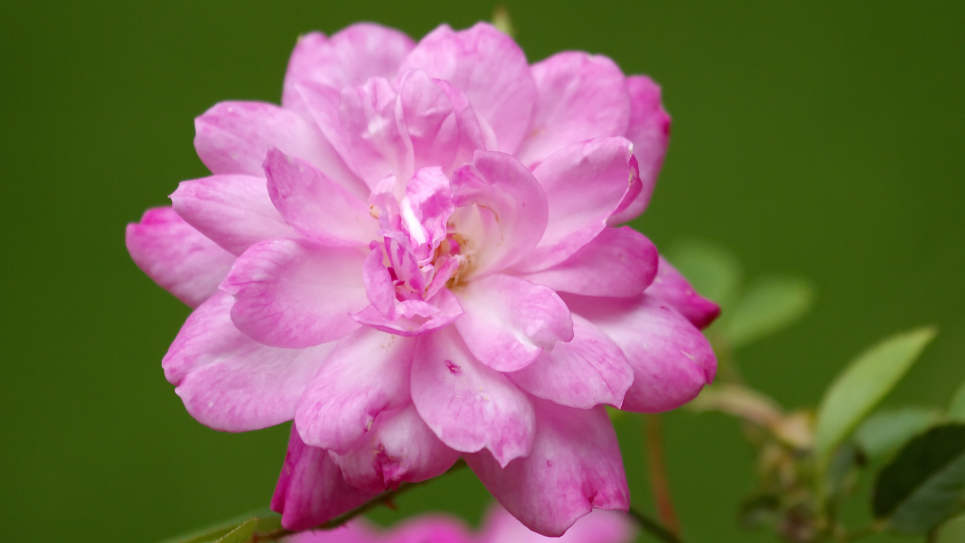 Close up on china rose, rosa chinensis