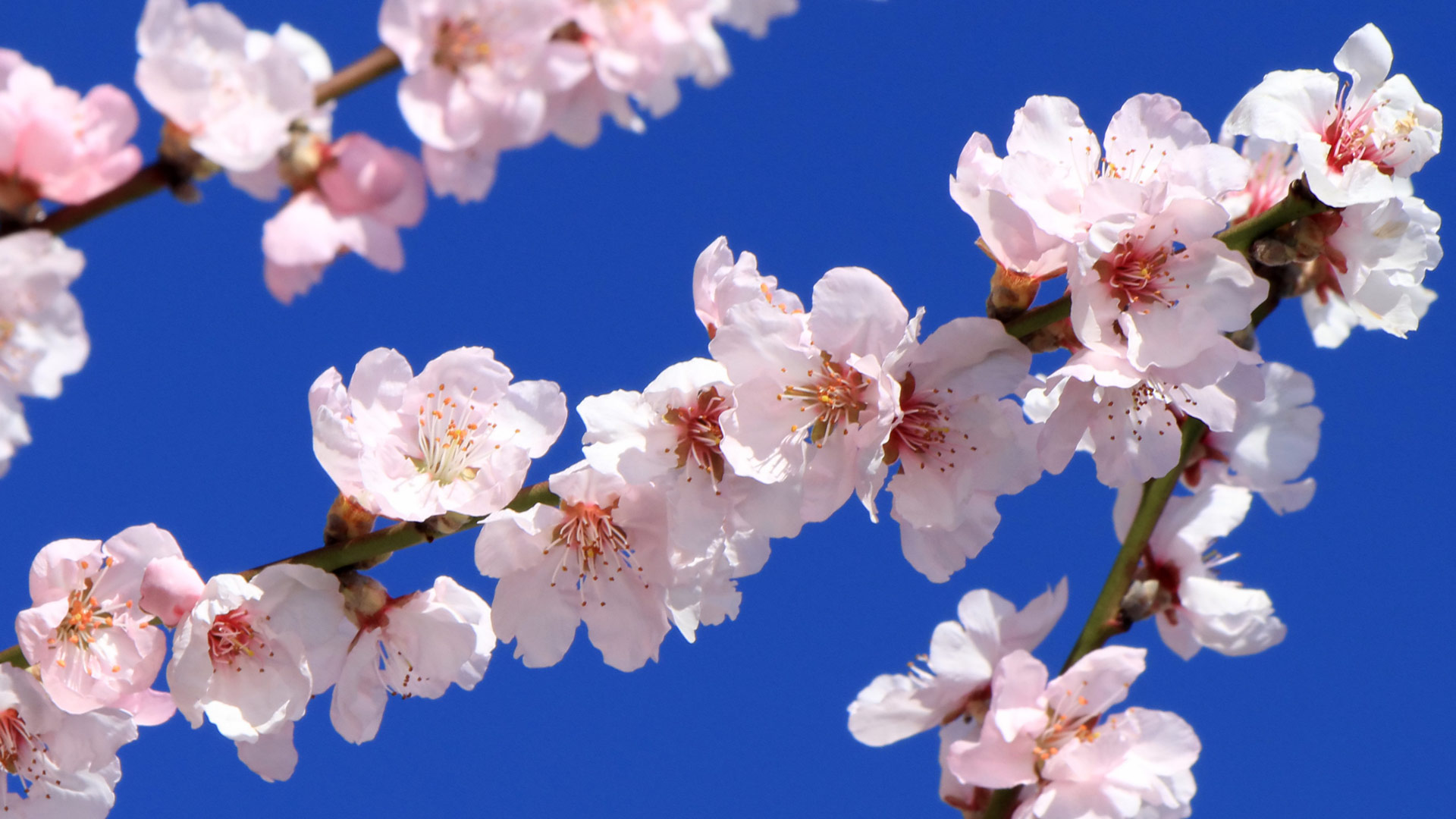 Spring almond tree flowers in deep blue background
