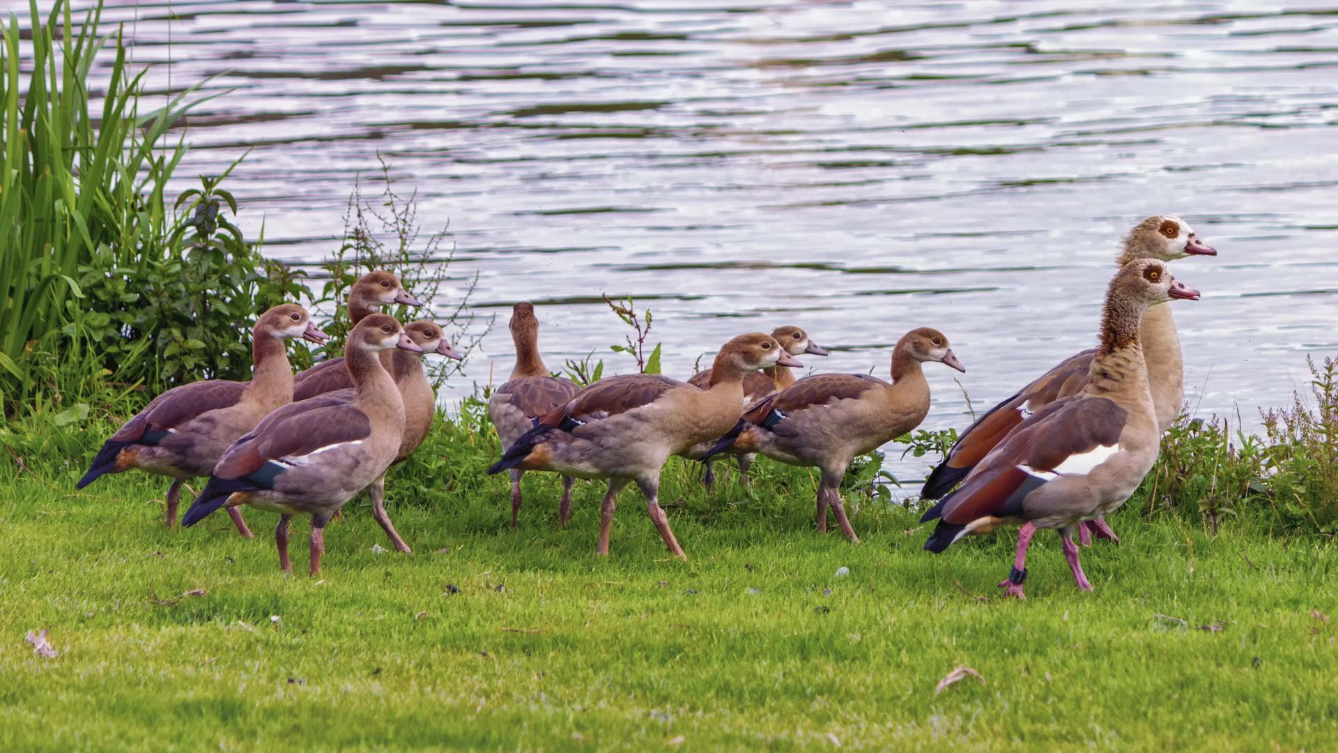 Egyptian goose, alopochen aegyptiacus,and babies walking on the grass near the water