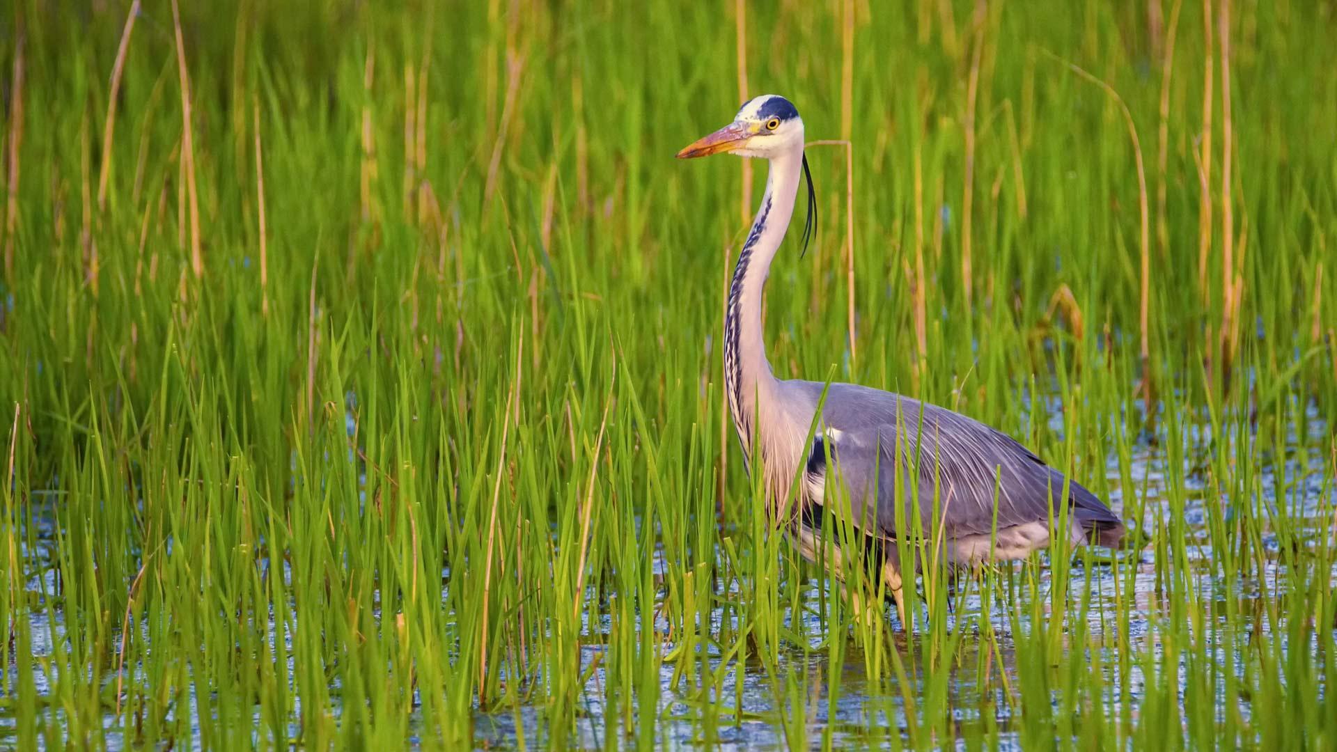 Grey heron, ardea cinerea, in a water among grass