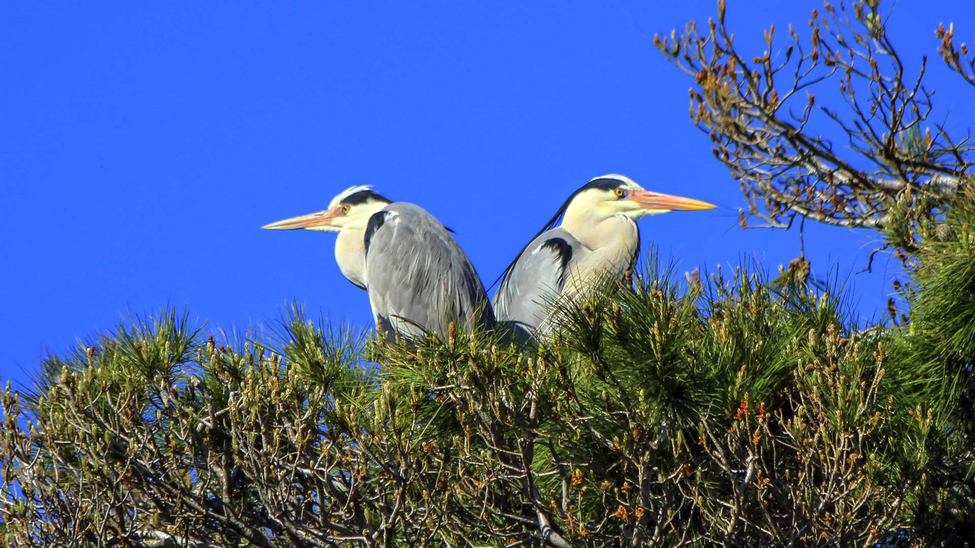 Grey herons, ardea cinerea, in a tree, Camargue, France