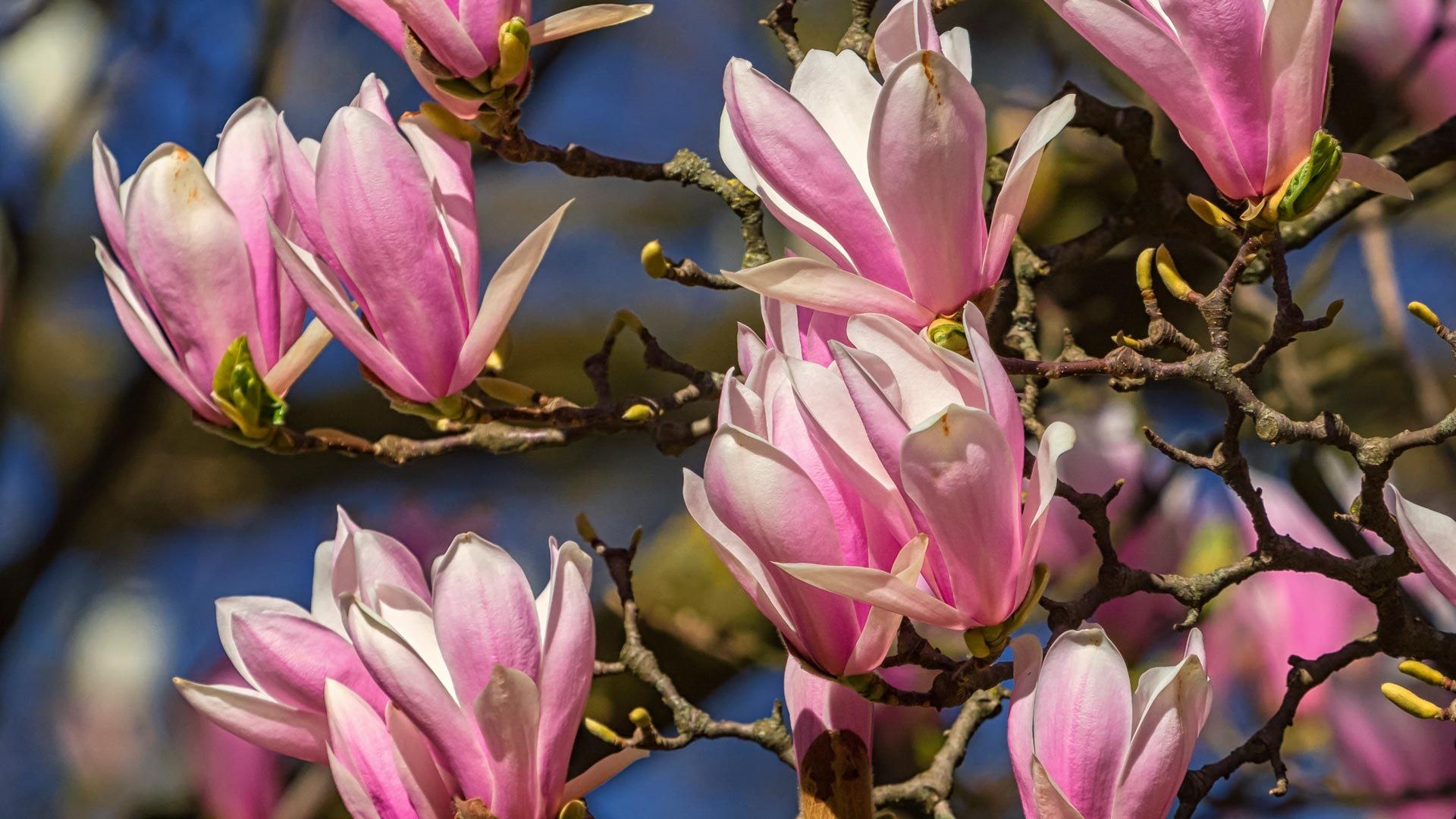 Close up on huangshan, magnolia cylindrica, flowers by day