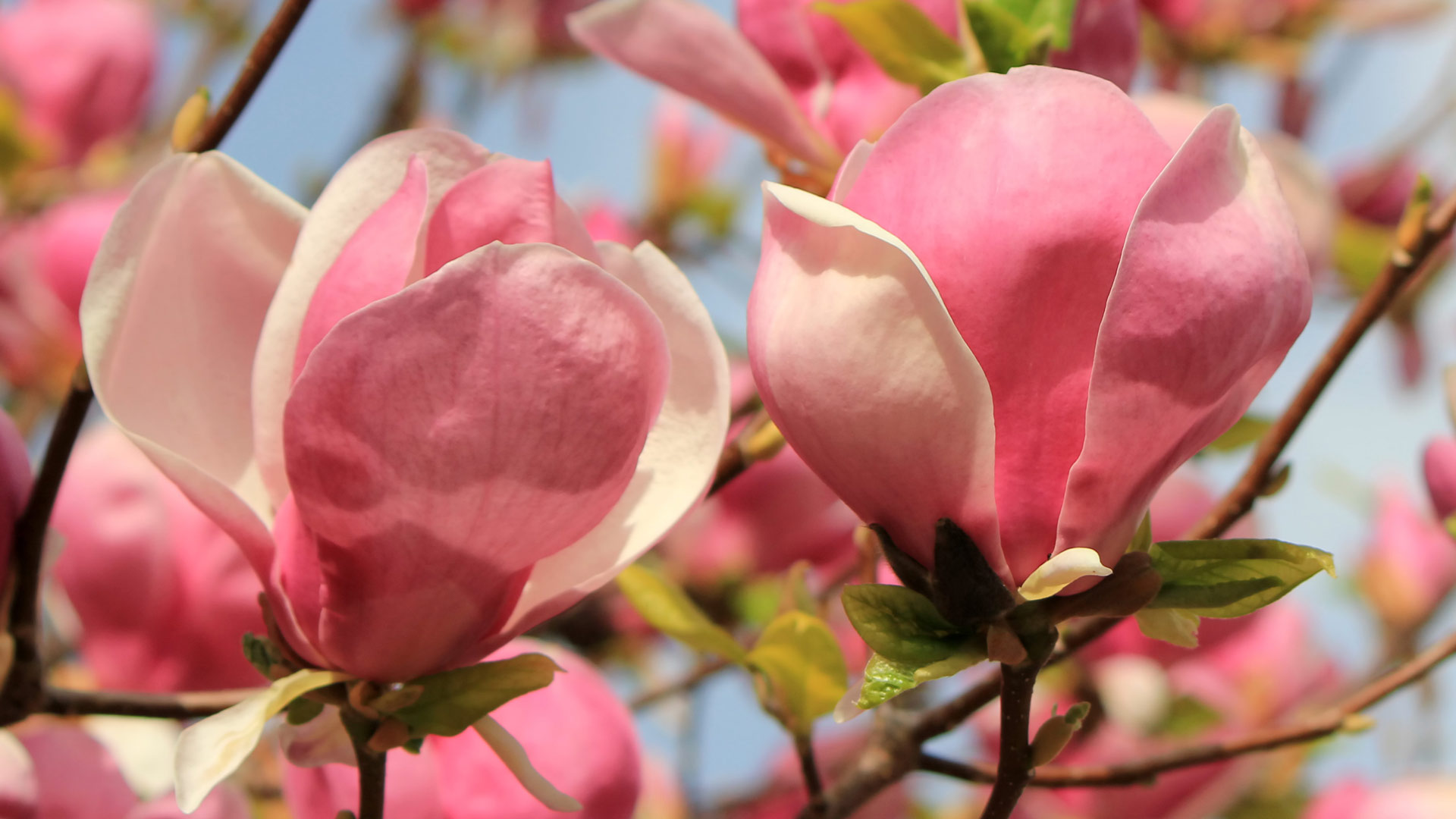 Close up of magnolia flowers by beautiful day
