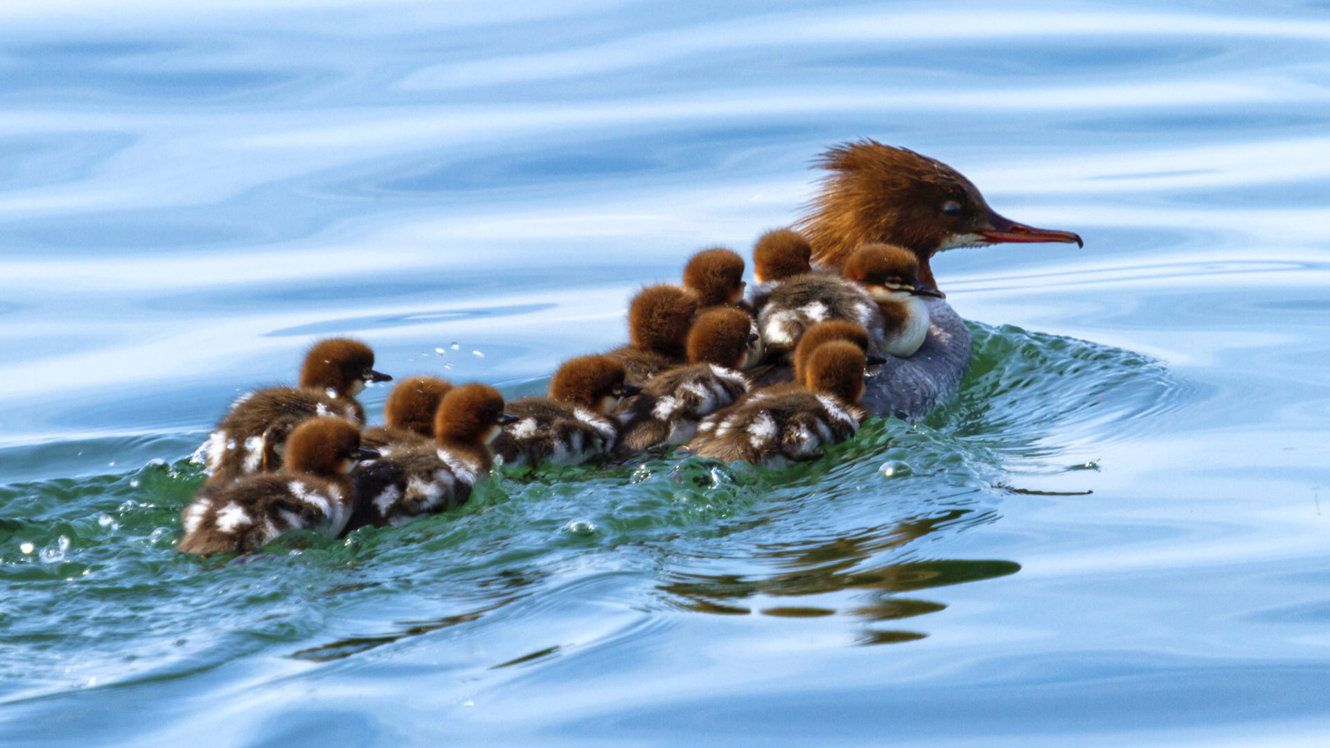 Female goosander, mergus merganser, and 12 babies on its back swimming onto the water