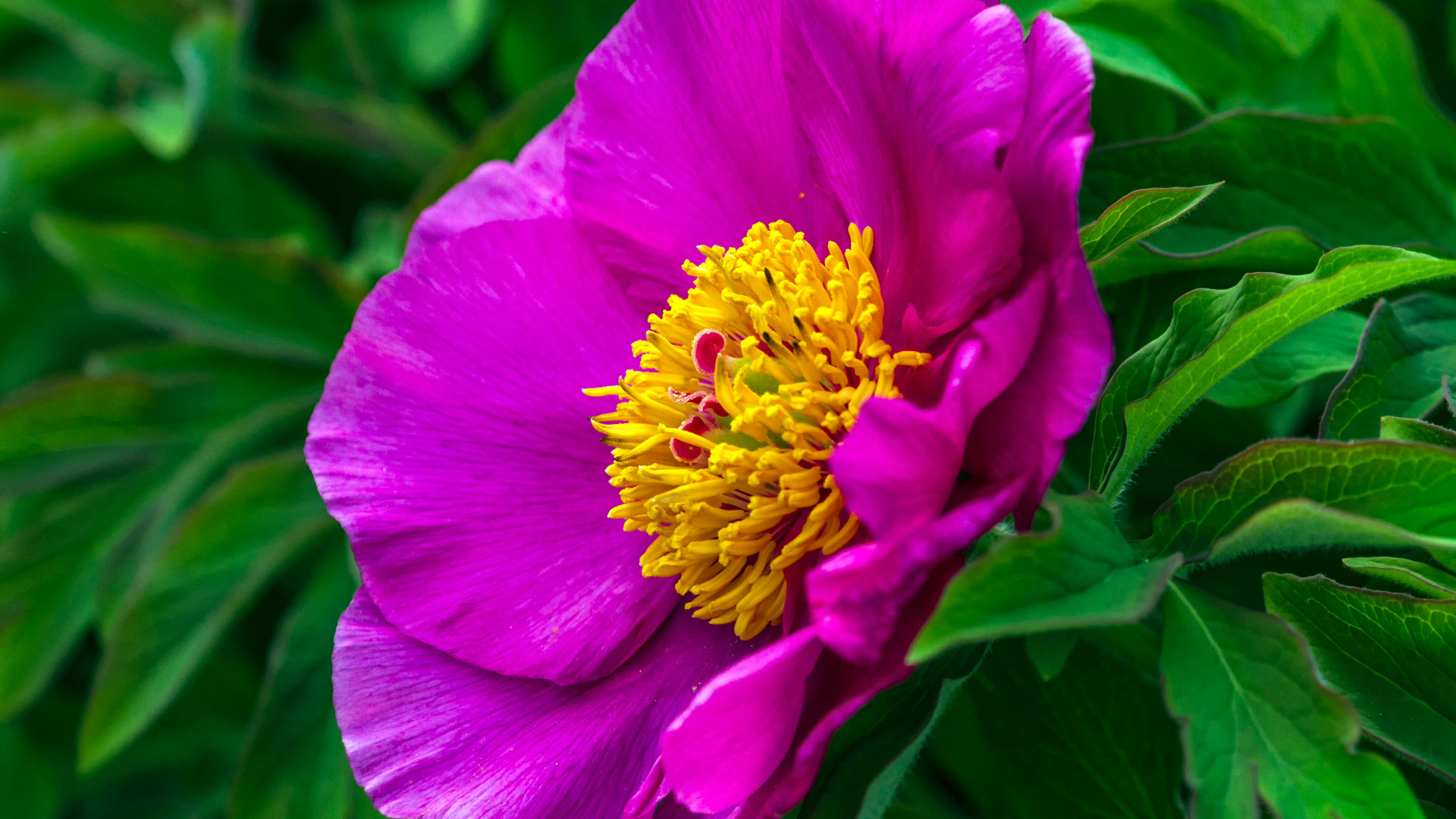 Close up on puropean or common peony, paeonia officinalis, flower