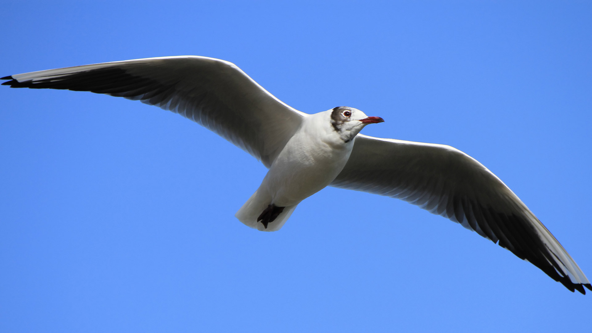 Black-headed gull with its typical winter black and white head flying in the blue sky