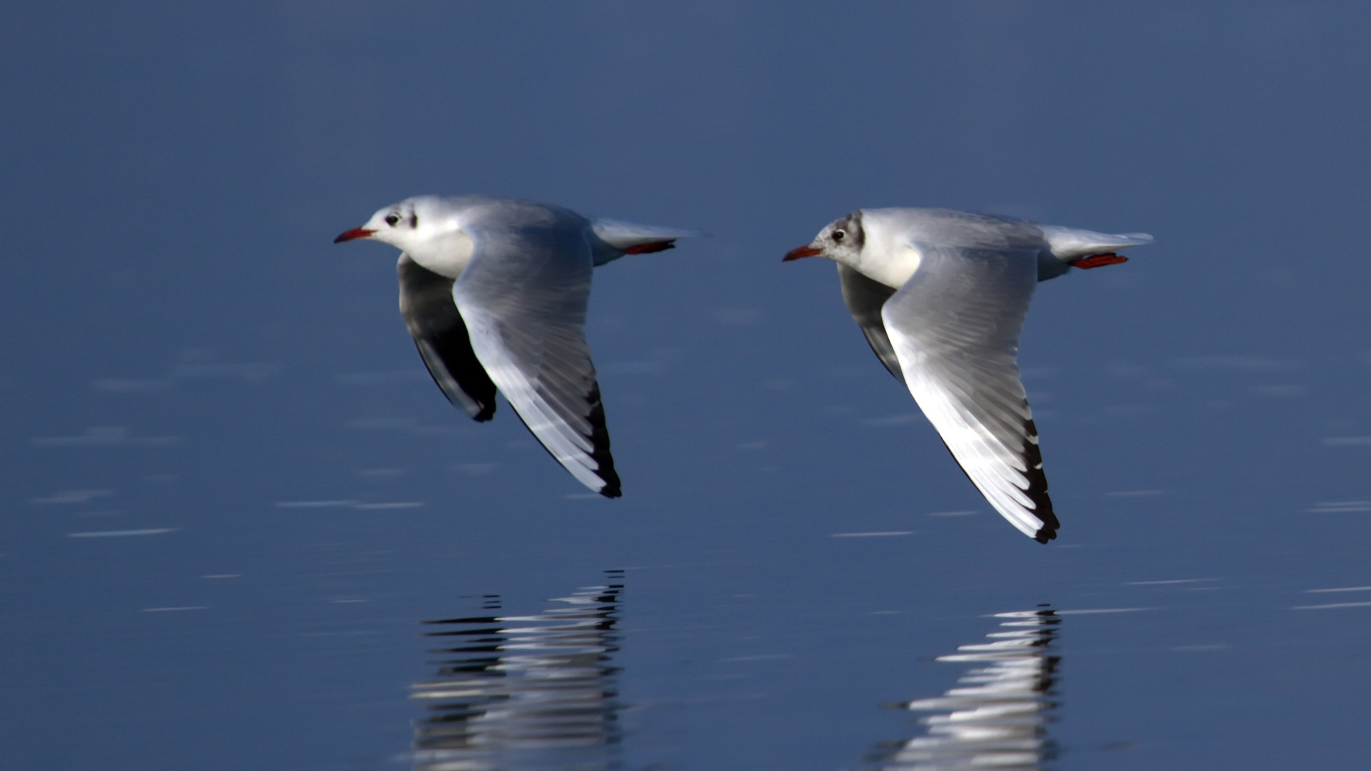 Two black-headed gulls, chroicocephalus ridibundus, flying near waterlake