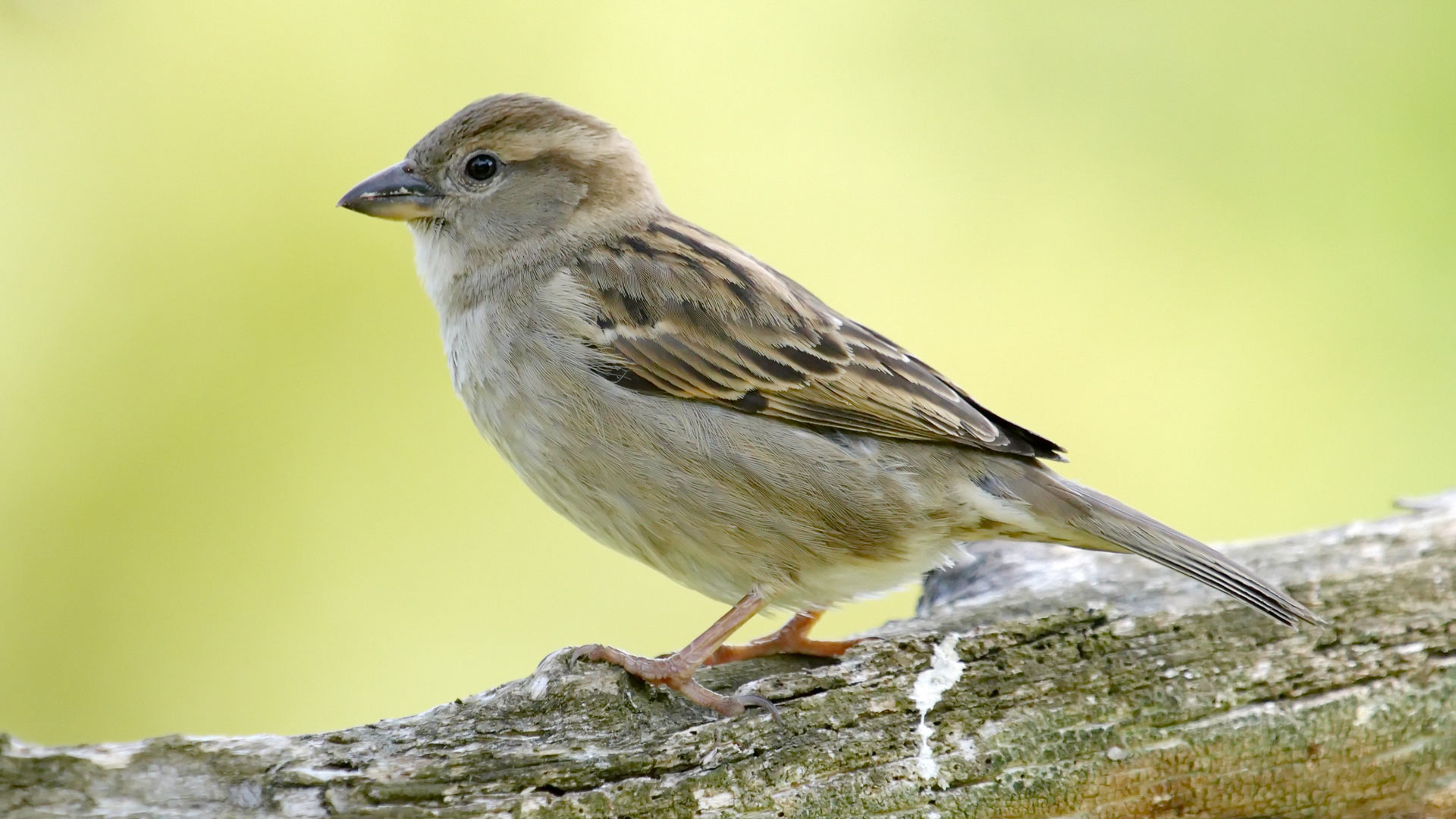One female sparrow standing on a branch