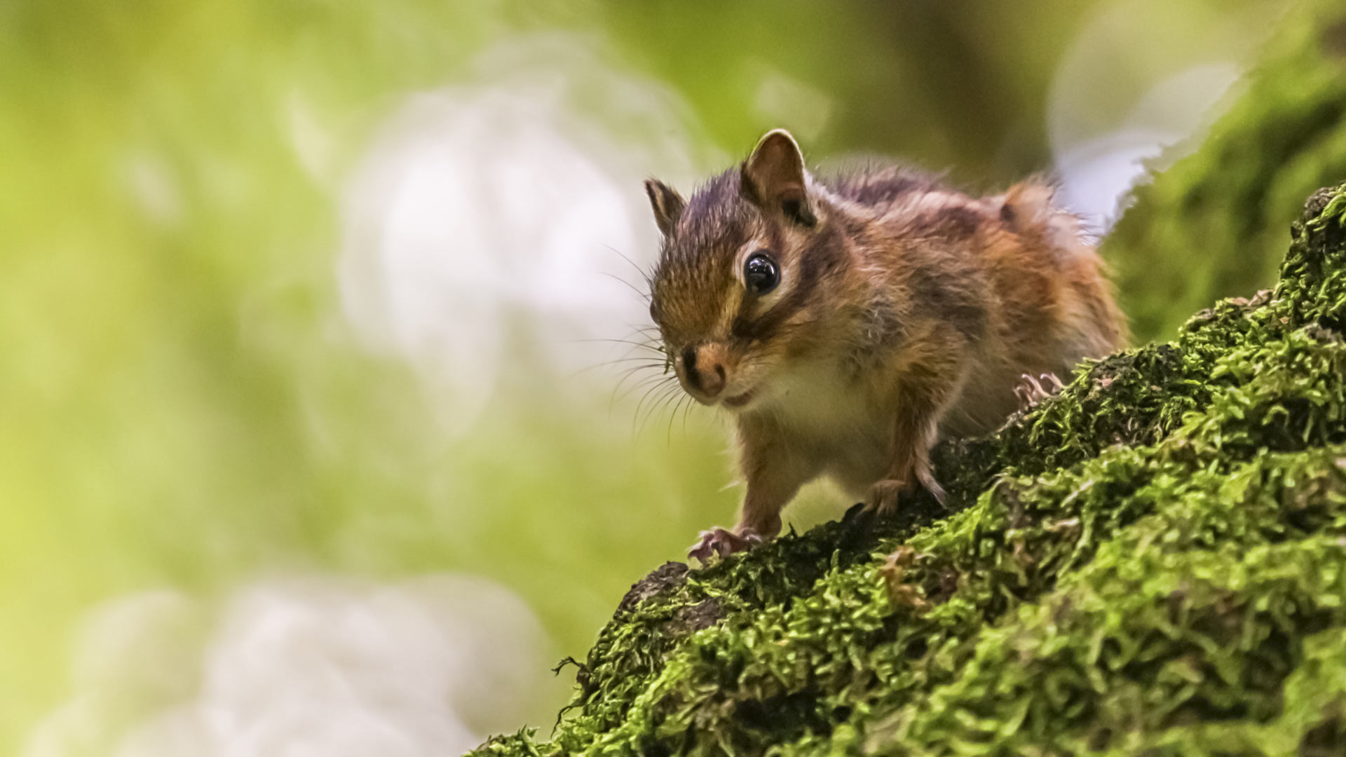 Siberian or common chipmunk squirrel, eutamias sibiricus standing on a tree trunk