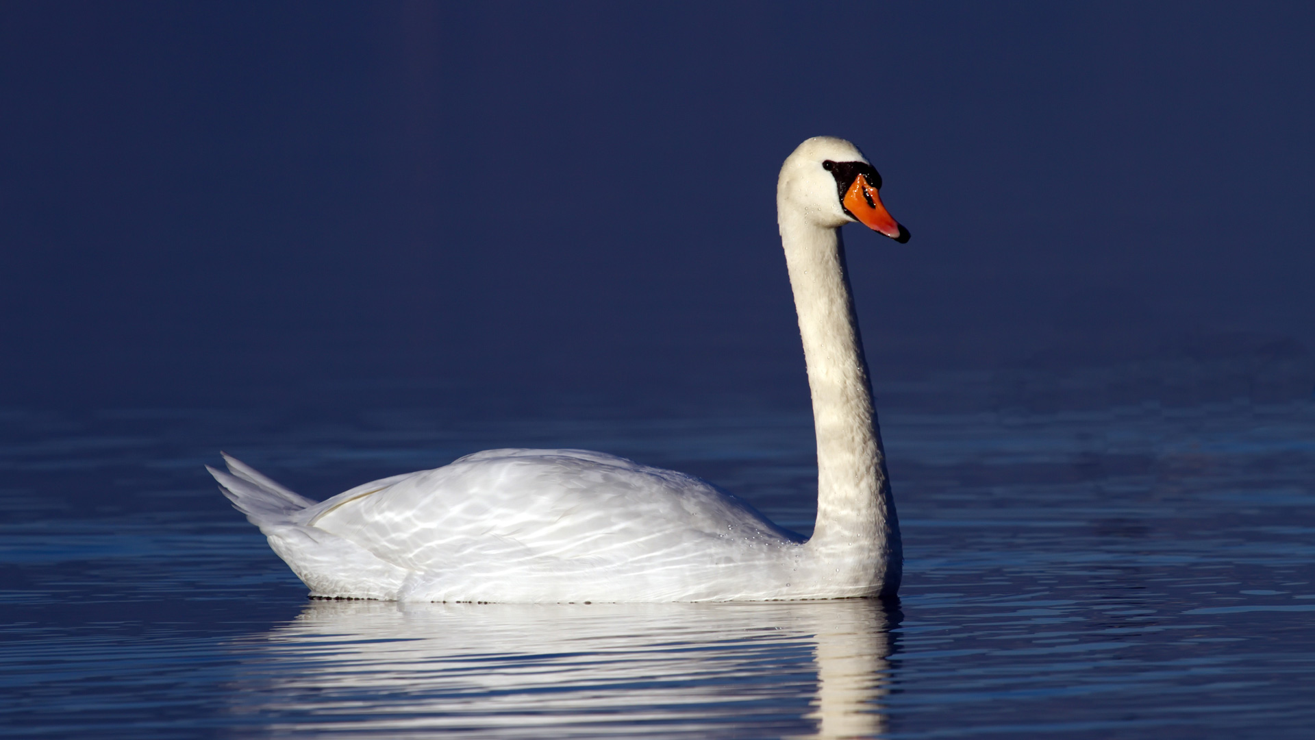 One mute swan floating quietly on blue water