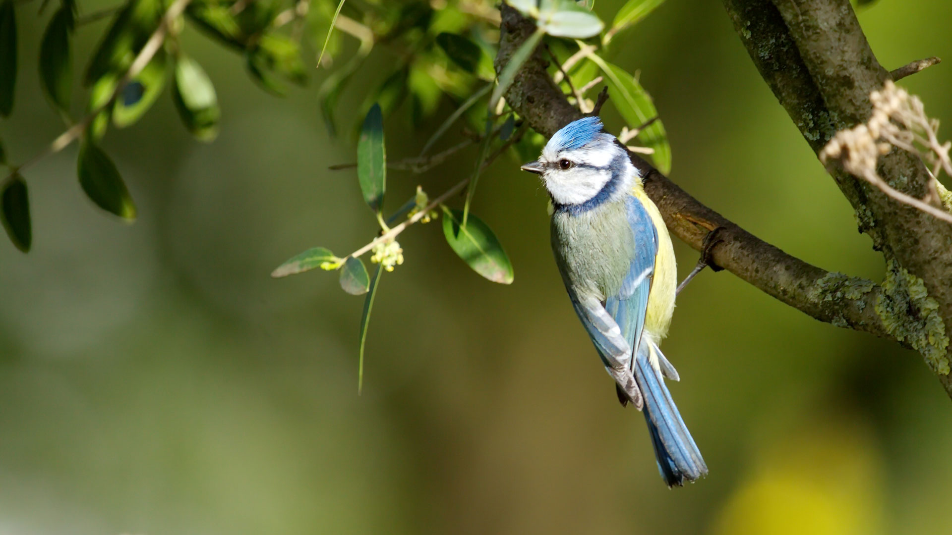 Eurasian blue tit (cyanistes or parus caeruleus) perched on a branch and looking aside by sunset